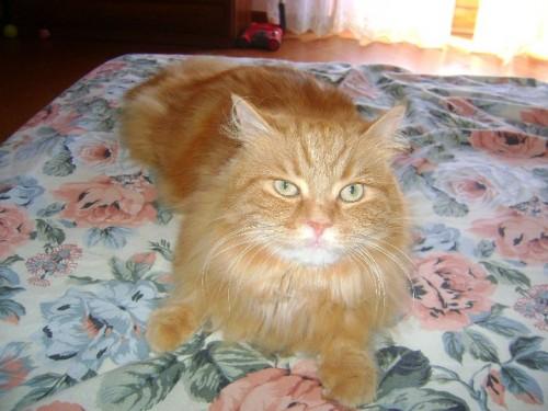 Smarrito Gatto Arancione A Pelo Lungo A Passo Corese