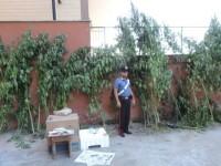 Capena, coltivava 63 piante di cannabis, arrestato 53enne del posto