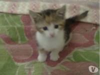 Regalo gattini razza europea solo a veri amanti del genere