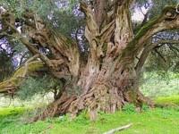 Gli olivi monumentali, una passeggiata nella storia d'Italia