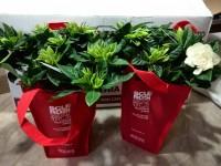 Rieti, gardenie dell'Aism per la ricerca contro la sclerosi multipla