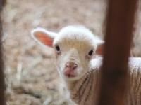 Ma ormai la strage di agnelli è lontana da ogni tradizione religiosa