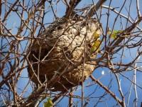 In Lombardia è arrivato il calabrone killer che mangia le api