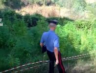 coltivazione_marijuana