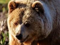 Abbattuta l'orsa Kj2, prime disdette in Trentino dopo il boicottaggio lanciato dagli animalisti