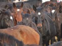 Ponzano Romano: sequestrati 47 cavalli gravemente denutriti