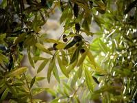 Coldiretti, danni record per olivicoltura