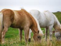 I cavalli sequestrati di Ponzano Romano: Horse Angels disponibile per farli adottare
