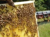 Guidonia, ladri di api in azione: rubano sette arnie piene, arrestati