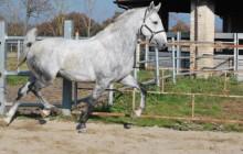 I cavalli Lipizzani di Montelibretti: una lunga storia, anche d'amore
