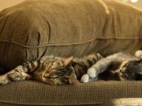 #IoRestoaCasa in quarantena con il gatto: cosa dice il comportamentalista
