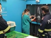 Roma, impaurita e ferita vagava sul Raccordo: piccola volpe salvata dalla Polizia