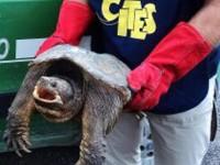 Tartaruga azzannatrice trovata nel Tevere a Monterotondo