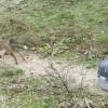 La volpe di via Salaria è tornata a correre