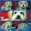15/04/2014 Smarrita a Fiano Romano (Rm) Carolina, cane femmina di taglia piccola. Collarino. No microchip.