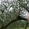 Un laziale vince il campionato nazionale di potatura dell'olivo a Siracusa